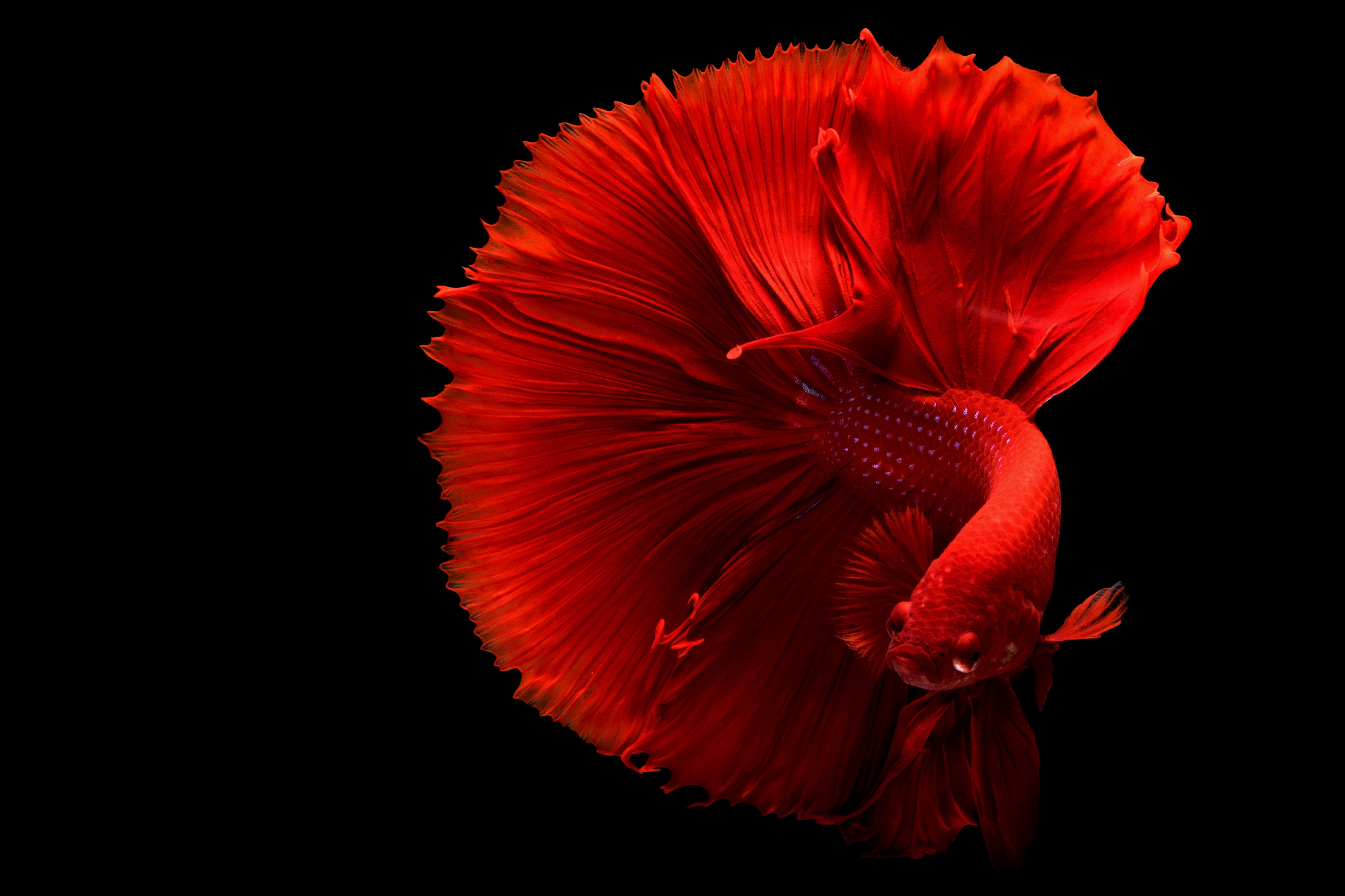 animal-betta-desktop-backgrounds-1335971